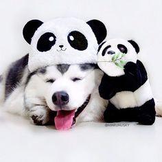 Day 74 - He still think I'm a panda 🐼 __  #barkpack#poshpamperedpets#ilovemyhusky#houndsbazaar#huskypics#fluffypack#dogscorner#allthingshusky#bestwoof#meowvswoof#myhusky#dogsofinstaworld#weeklyfluff#huskyphotography#Ruffpost#huskysnow#dog_features#my_husky#huskiesreq#showcasing_pets#petbox#features4huskies#animalsco#fluff_stuff#mylilbuddy#ipetfunny#dance_61_#animaldisplay#deluxefx#ppcbestfriendsofdecember