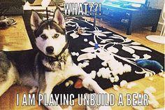 """Siberian Husky playing """"Un-Build"""" a Bear."""