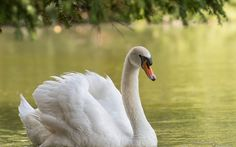 1920x1200 px Quality Cool mute swan image by Winfred Butler for  - pocketfullofgrace.com