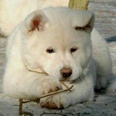Giant White Alaskan Malamute Puppies