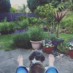 ______ neighbourhood watching  _____________ #wilsontheshihtzupuppy #mydog #ilovemydog #mygarden #inmygarden #lovemyspace #lovemylife #dog #doglover #doglife #summernails #petunia #lavender #gardenpond #greenspace #shihtzu #mojogród #ogrod #wogrodzie #piesek #piesio #mojamiłość