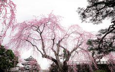 445:「今年は一週間以上早咲きとなった弘前公園の桜。早朝、薄曇りの中に咲く桜は、墨絵に薄ピンクを垂らした色彩のようです。」@弘前公園