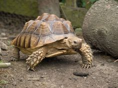 We all know and love the Galapagos Tortoise, they are cute and different but oddly misunderstood creatures, this article will show you some of the interesting. Tortoise Food, Sulcata Tortoise, Tortoise Care, Giant Tortoise, Tortoises, Gentle Giant, Pet Care, Pitbulls, Fun Facts
