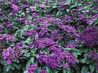 Heliotrope has a sweet, pungent scent that some liken to the smell of cherry pie. 'Dwarf Marine' features a royal purple color. It is large flowered yet compact and has attractive, dark green foliage and a bushy habit.