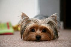 A Yorkie. I love Yorkie's they are my favorite dog's. Yorkies, Yorkie Puppy, Dalmatian Puppies, Morkie Puppies, Buy Puppies, Teacup Yorkie, I Love Dogs, Cute Dogs, Yorshire Terrier