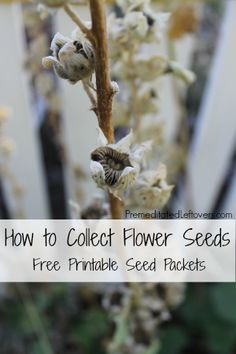 How to collect flower seeds plus a free printable flower seed packet