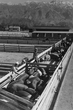 Hog Farm - Manzanar War Relocation Center, by Ansel Adams