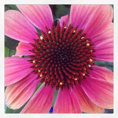 Echinacea's big beautiful flowers bloom all summer!