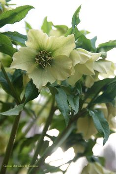 From my photo files... today's plant is the hellebore | Conrad Art Glass & Gardens