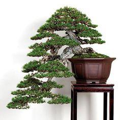 Photo: Cascade pine Bonsai, by David Benavente. Great pot too. Pine Bonsai, Juniper Bonsai, House Plants Decor, Plant Decor, Bonsai Tree Tattoos, Tattoo Tree, Plantas Bonsai, Japanese Tree, Belle Plante