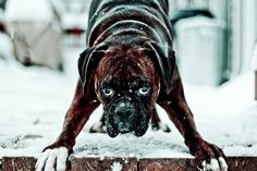 """Acquire great ideas on """"boxer puppies"""". They are accessible for you on our site. Boxer Dogs Facts, Dog Facts, Boxer Puppies, Boxer And Baby, Boxer Love, Boxers, Funny Dogs, Cute Dogs, Brindle Boxer"""