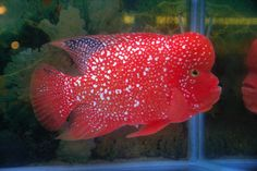 flowerhorn fish pictures | ... biggest fan of fh s but those are some sweet fish this fish is crazy