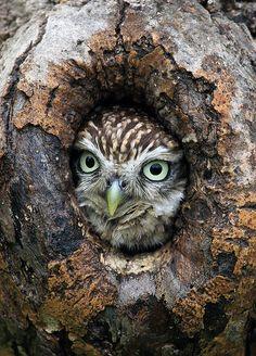 Little Owl   Flickr - Photo Sharing!