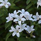 Campanula lactiflora Avalanche ('Camblo')
