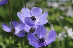 Flowers at Duke Gardens   Rachel C Ward Photograhy rachelcwardphotography@gmail.com