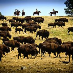 The Black Hills Buffalo Roundup in Custer State Park is an enjoyable event every year!