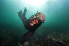 brown fur seal, arctocephalus pusillus, lachtan jihoafrický