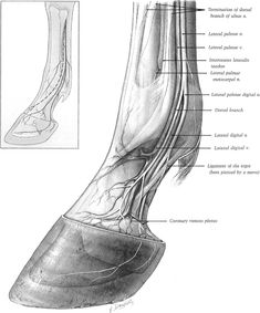 Practical Guide to Lameness in Horses Large Animal Vet, Large Animals, Faster Horses, Horse Care Tips, Horse Anatomy, Pet Vet, Horse Artwork, Appaloosa Horses, Animal Facts
