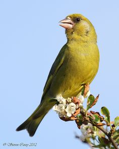 Greenfinch (Carduelis chloris) by British Birds 2009 Small Birds, Little Birds, Colorful Birds, Love Birds, Beautiful Birds, Pet Birds, Wild Life, British Wildlife, Wildlife Art