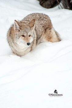 Coyote in Winter Plague Dogs, Coyote S, Maned Wolf, Predator Hunting, Dances With Wolves, Dog Corner, African Wild Dog, Wild Dogs, Foxes