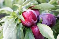 Growing plums in Colorado can be easy, beautiful (and maybe pluots?)
