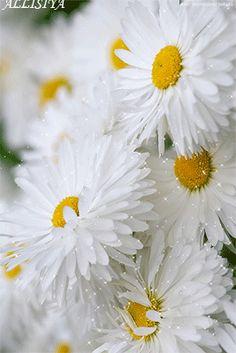 20 Imágenes Animadas de Flores   Hermosas Margaritas - 1000 Gifs - Los Mejores Gifs Animados para Compartir