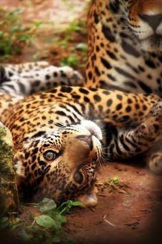 Baby Jaguar by ~parrothead529