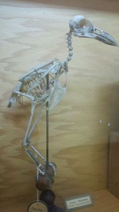 crow skeleton - Google Search