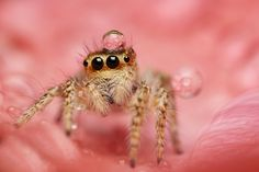 I see your warthog, skunk, and hyena. I present an adorable spider with a small drop of water on its head. Itsy Bitsy Spider, Jumping Spider, Tiny World, All About Cats, Hyena, Beautiful Butterflies, Macro Photography, Beautiful Creatures, Bugs