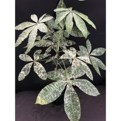 PACHIRA AQUATICA VARIEGATED Pachira Aquatica, Money Trees, Greenery, Plant Leaves, This Is Us, Plants, Gardening, Lawn And Garden, Plant