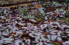 Begonia 'Fireworks'   Flickr - Photo Sharing!