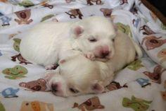 Adorable Paws / D-Wurf Malteser Welpen, 19.01.17, 2 Wochen alt, Züchter Daniela Krüger