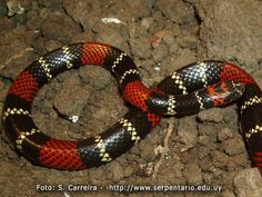 (Micrurus altirostris) Uruguayan coral snake