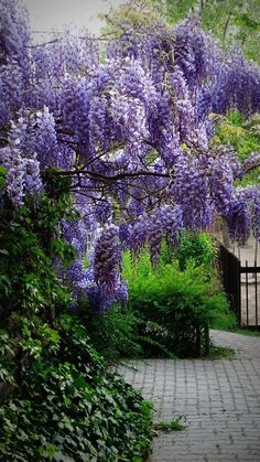 Wisteria Tunnel, Wisteria Garden, Wisteria Tree, Wisteria Sinensis, Nature Wallpaper, Dream Garden, Beautiful Flowers, Diy And Crafts, Sidewalk