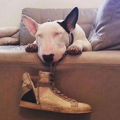 Bons sonhos 😴 #bullterrierlovers #bullterrier #1bullterrier #instagram #instadog #instalove #cut #dog #pet #vida #amordacasa #amordepatas #bullterrierpics #bullie #bullterrierinstagram #bullterrierlove #dogs #bullterrierstyle #bullterrierlife #puppy #bullterrierpuppy #englishbull #Raça #ingles #englishbullterrierpuppy #ilovedogs #babys #ebt