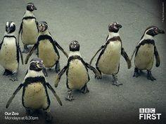 Let's get this party started! Penguin World, Galapagos Penguin, March Of The Penguins, Humboldt Penguin, Penguin Species, Pet Birds, Birds 2, Aquatic Birds, Doraemon Wallpapers