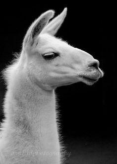 I miss my llamas
