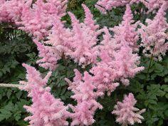 Rose Quartz & Serenity - My flower inspirations. Astilbe
