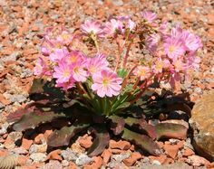Lewisia Wallpapers) – Free Backgrounds and Wallpapers Cliff, Container Gardening, Flora, Wallpaper, Plants, Maids, Backgrounds, Window, Van