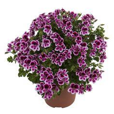 #Angeleyes #Randy #Angelpelargonium #richflowering #flowers #allsummerlong #garden #plants
