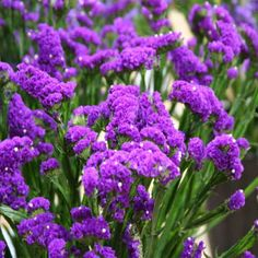 dried flower tatice | statice limonium sinuatum purple attraction commonly known as statice ...