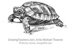 How to draw a turtle 8 Pencil Drawings Of Girls, Pencil Drawings Of Animals, Animal Sketches, Art Sketches, Art Drawings, Tortoise Drawing, Tortoise Tattoo, Turtle Sketch, Kawaii Turtle