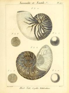 Tableau encyclopédique et méthodique des trois règnes de la nature, Vol III, M. Jean Guillaume Bruguiere, 1791.