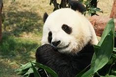 Image result for panda a bambus Panda Bear, Image, Bamboo, Panda, Pandas