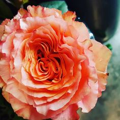 The perfect rose for the #freespirit in you!