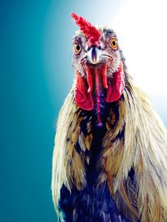 Beautiful animals by Jill Greenberg #animals #rooster