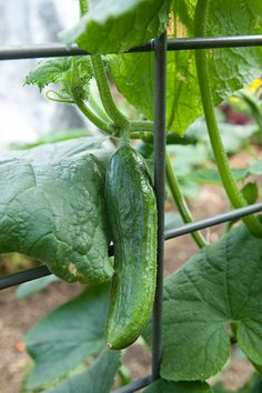 Growing cucumbers - easy! Summer Garden, Lawn And Garden, Garden Care, Cottage Living, Outdoor Fun, Backyard Landscaping, Vegetable Garden, Outdoor Gardens, Cucumber