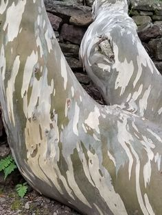 Eucalyptus Bark, Inverewe Gardens