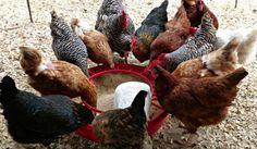 ração para galinha