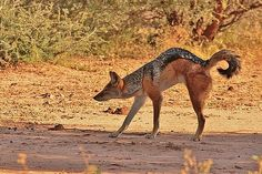 Black Back Jackal Stretches in the African Shade Big Animals, Animals And Pets, Black Backed Jackal, Predator Hunting, Jack O Lantern Faces, African Animals, Creature Design, Back To Black, Animal Drawings